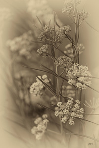 Sepia Wildflowers July 25, 2013