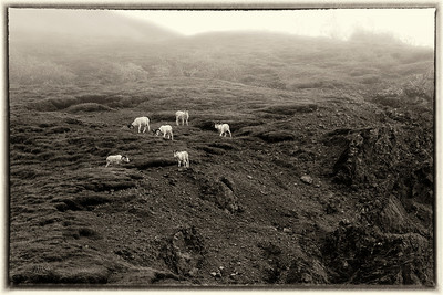 Dall Sheep in Fog