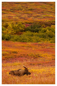 Bull Moose in Fall Landscape