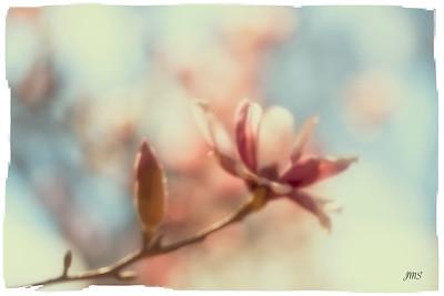 Magnolia Blur